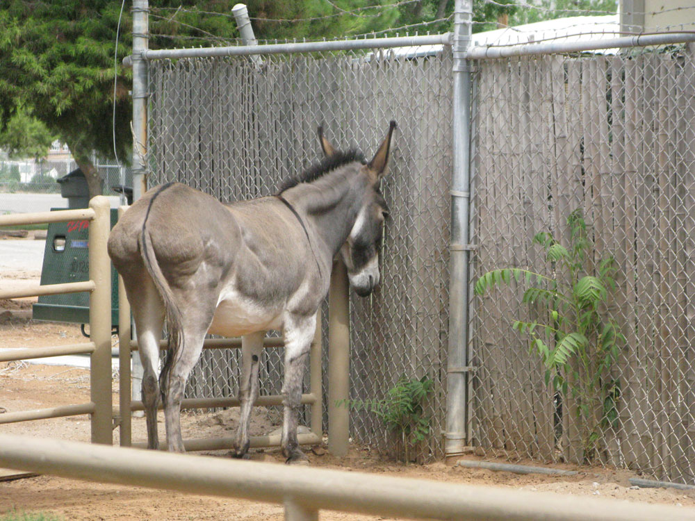 A donkey at El Paso Zoo looks like is in time out. (Fabián Laveaga/Borderzine.com)