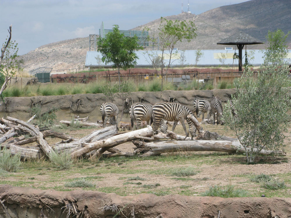According to Valerie Hearn, Education Specialist, El Paso Zoo tries to provide a habitat as similar as possible as the animals' original, however, the life in the city make this difficult. (Fabián Laveaga/Borderzine.com)