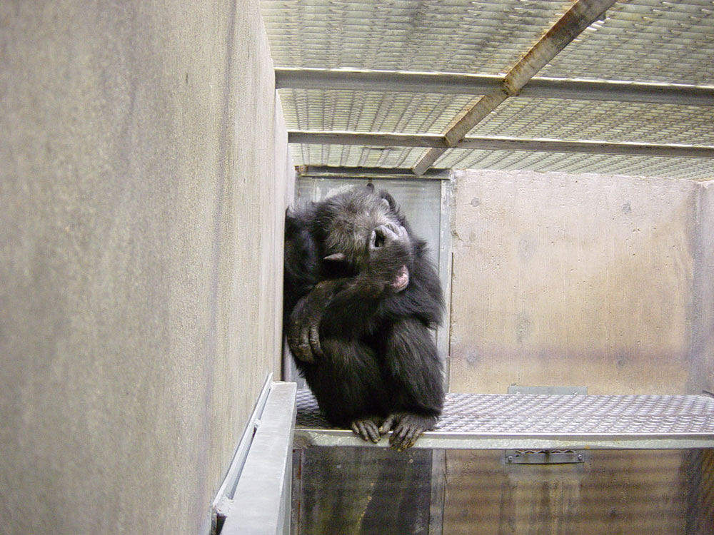 A chimp named Juan hides from the camera at the Alamogordo sanctuary. (Courtesy of Save the Chimps)