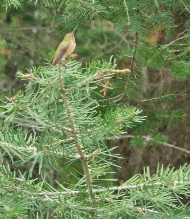 Rufous hummingbird perch in Cloudcroft. (Cheryl Howard/Borderzine.com)