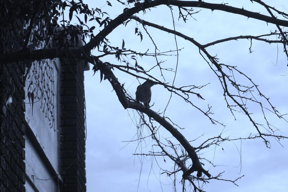 Mockingbird perch in my neighborhood. (Cheryl Howard/Borderzine.com)