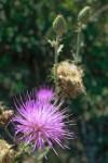 Calliandra eriophylla, a beautiful desert magenta flower. (Ezra Rodriguez/Borderzine.com)