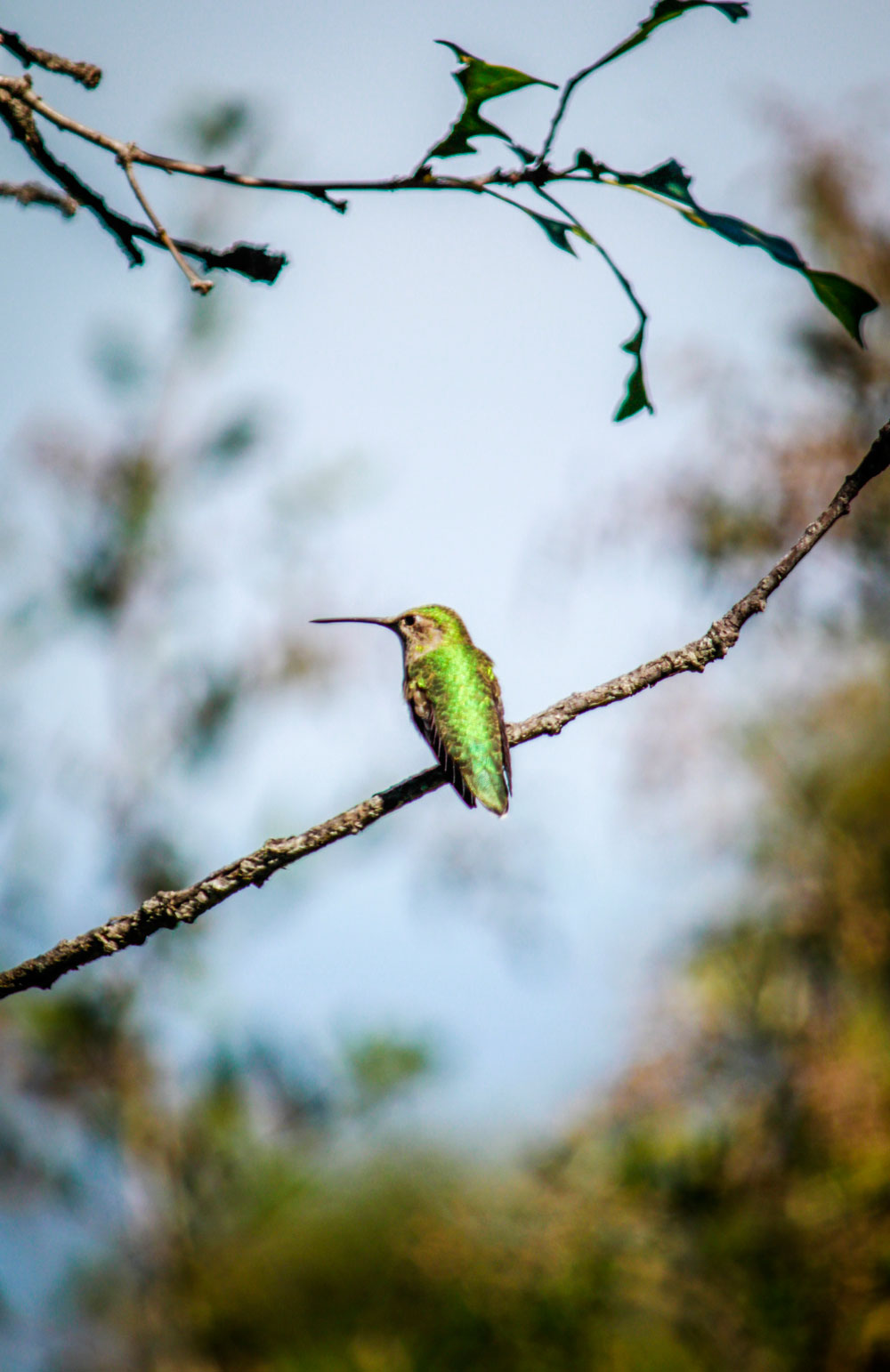 Green Violetear humming bird. Getting close to perfection. (Ezra Rodriguez/Borderzine.com)