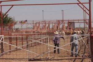 Cattle herders help push livestock into trailer trucks for shipment to other parts of the U.S. (Jasmine Aguilera/Borderzine.com)