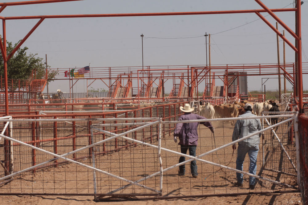 Cattle herders help push livestock into trailer trucks for shipment to other parts of the U.S. (Jasmine Aguilera/Borderzine.com)
