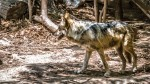 The Mexican gray wolf is a subspecies of the Gray Wolf. Mexican wolf at the El Paso Zoo. (Ezra Rodriguez/Borderzine.com)