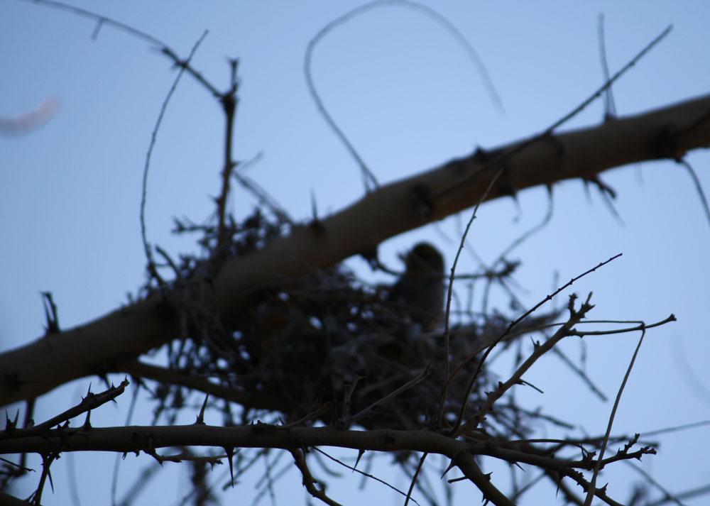 Nest under construction. (Cheryl Howard/Borderzine.com)