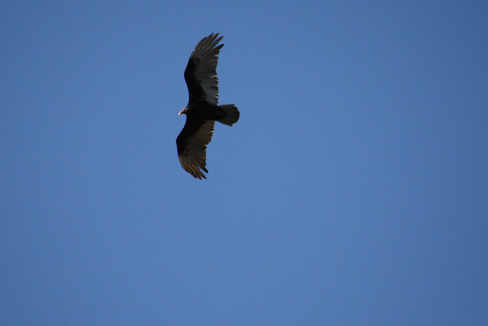 Bird in flight, species unbeknownst to photographer. (Cheryl Howard/Borderzine.com)