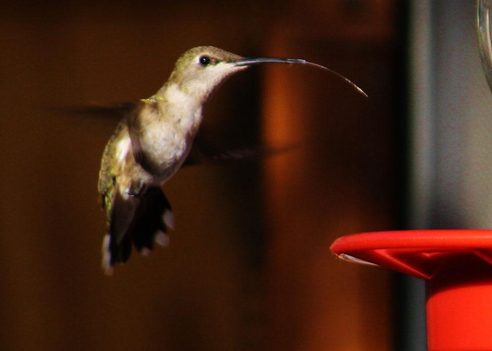 Hummingbird in San Juan, New Mexico. (Cheryl Howard/Borderzine.com)