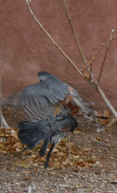 Kestrel with its kill, a pigeon in Albuquerque, New Mexico. (Cheryl Howard/Borderzine.com)