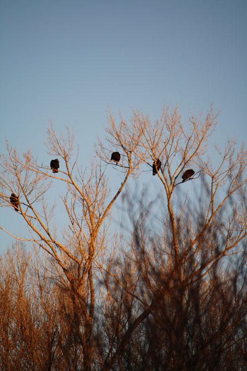 Turkey buzzards roosting at Lake Roberts, New Mexico. (Cheryl Howard/Borderzine.com)