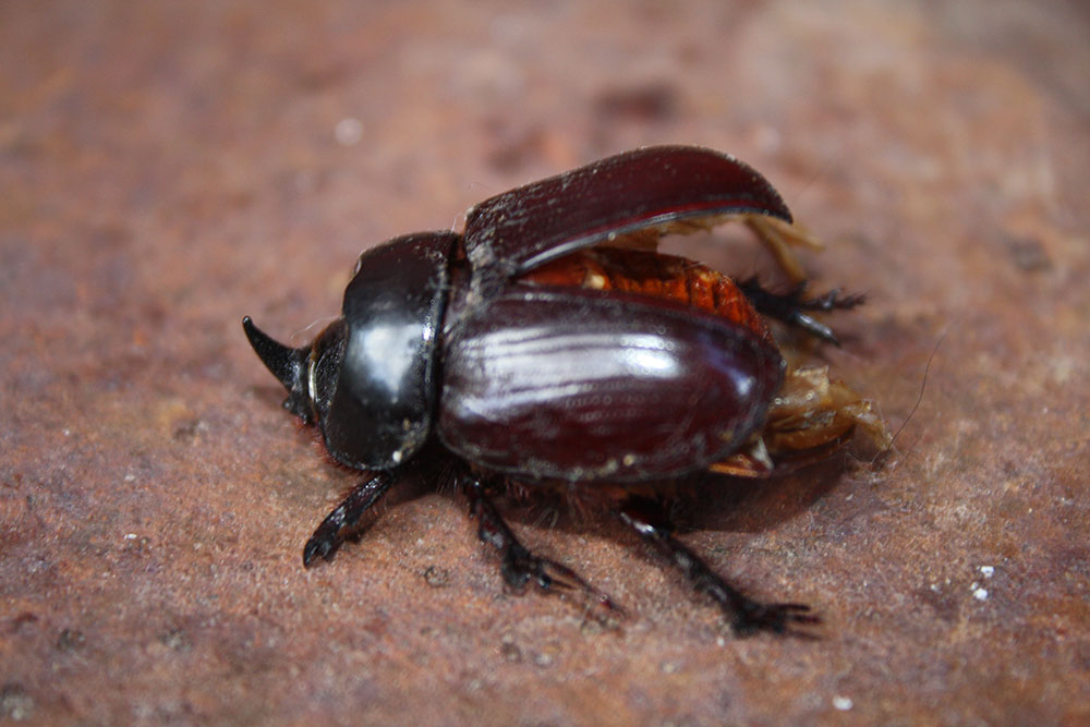 Rhinoceros beetle found dead on his back, apparently unable to right himself. See his horn? (Cheryl Howard/Borderzine.com)