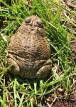 Beware the toad. (Cheryl Howard/Borderzine.com)