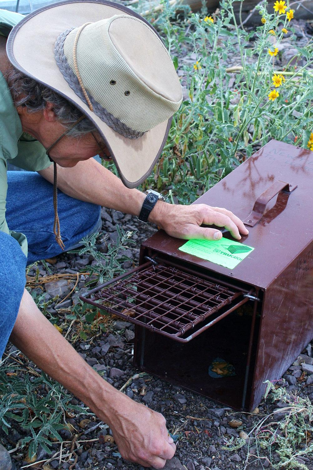 Jamie preparing the skunk trap in the chicken yard. (Cheryl Howard/Borderzine.com)