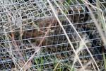 Rock squirrel caught. (Cheryl Howard/Borderzine.com)