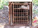 A skunk in Jamie's trap. (Courtesy of James W. Newton)