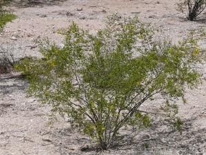 Creosote bush (Creosote Larrea Tridentata) found in El Paso contain polyphenols that help intervene in the process of protein misfolding.