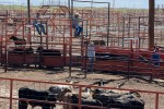 Each head of cattle is counted six times as it moves through the chutes to insure the ranchers and buyers an accurate accounting. (Teresa Hernandez/Borderzine.com)