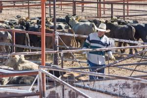cattle cowboy