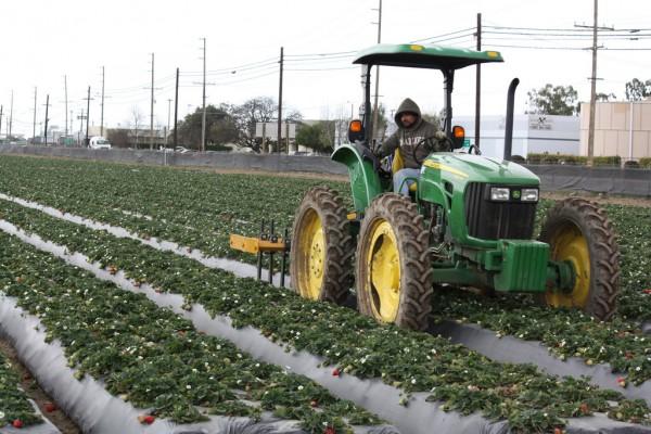 Un trabajador agrícola mantiene el campo limpio de hierbas con el tractor donde se cosecha la fresa en Oxnard, California. (Photo: Martha Ramírez/El Nuevo Sol)