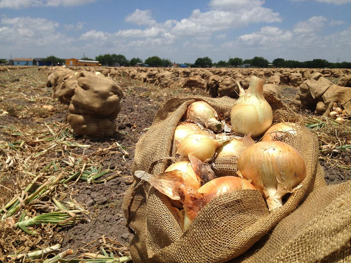 Cebollas listas para ser cosechadas en la autopista Military Highway en Progreso, Texas. (Sergio Chapa/Borderzine.com)