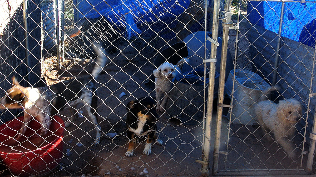 Recently, Guzman was able to rescue 47 sick and malnourish dogs from an animal cruelty case in Chaparral. (Velia Quiroz/Borderzine.com)