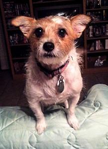 Thalia, a powerful and intimidating (?) Chihuahua. (Jose Luis Hernandez/Borderzine.com)