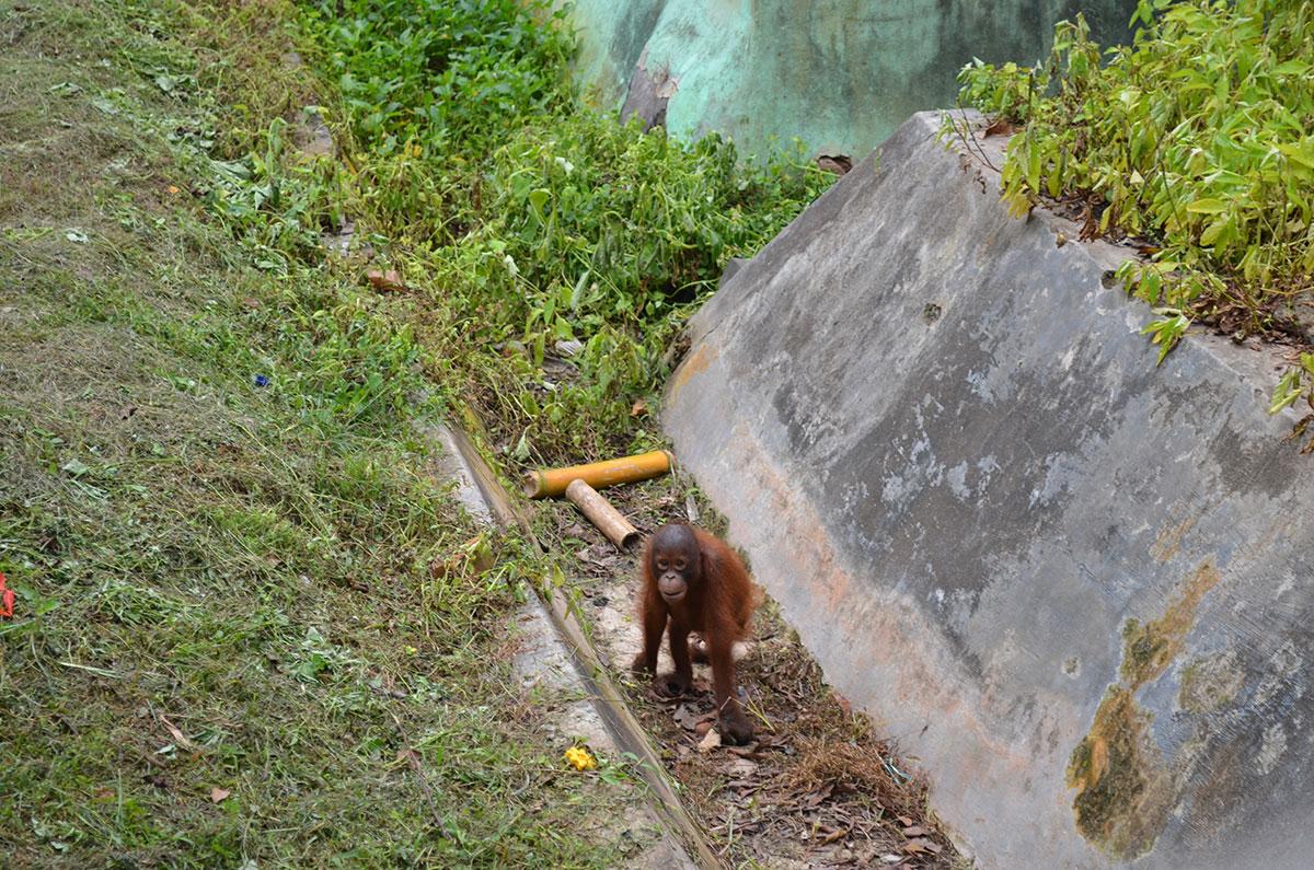 Orangutan at Kebun Raya Unmil Samarinda. (Valeria Hernandez/Borderzine.com)