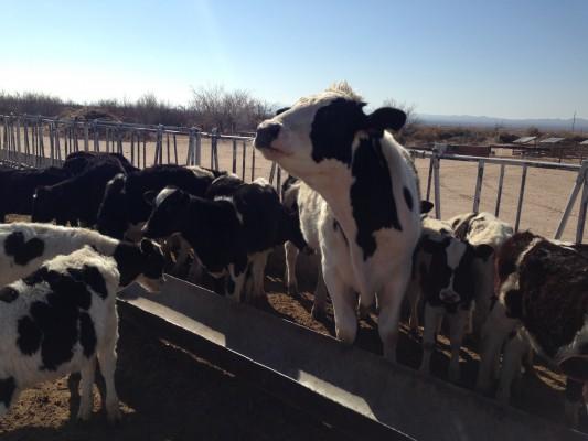 Licon Dairy Cow