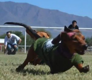 A dachshund races across the field at the St. Luke's Great Dachshund Stampede 2014, Oct. 4.