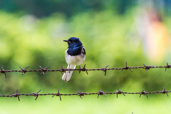 Oriental Magpie Robin on Barbed Wire