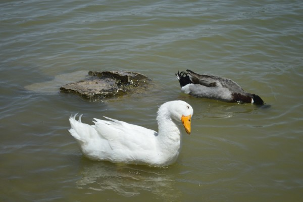 Domestic ducks dumped at Ascarate Lake in El Paso aren't able to survive like wild ducks. Photo by Alonso Moreno, Borderzine.com