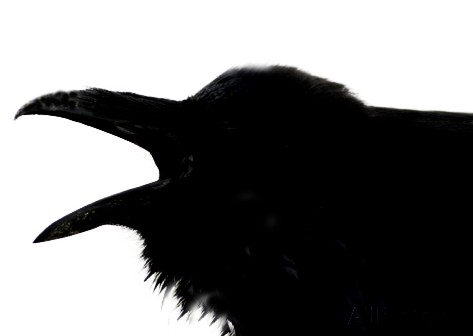 Shadow image of a crow