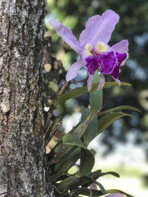 cuban-orchid