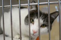 Cat housed at El Paso Animal Services peers through the metal bars of her cage.