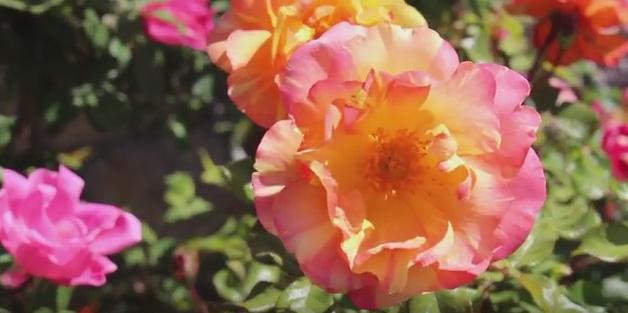 It is rose time in El Paso