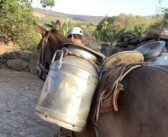 La rica tradición de requesón en Jalisco
